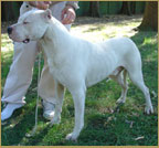 dogo argentino Waston